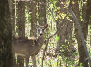 deer_forest_whitetail[1]